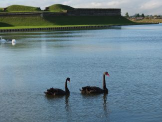 Two beautiful black swans in the sun at Tilbury Fort | Kevin Diver