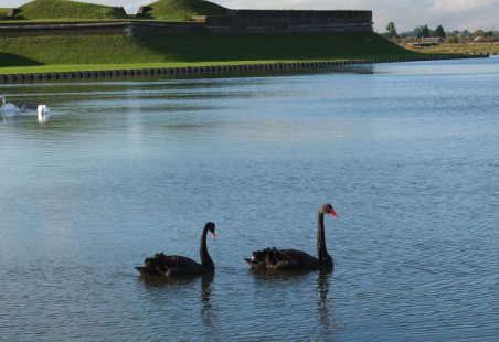 Black Swans at Tilbury Fort